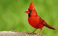 North Carolina State Bird - Cardinal