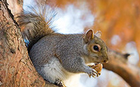 North Carolina State Mammal - Grey Squirrel